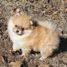 Pomeranian Puppies For Sale Puppyspot
