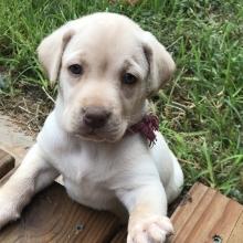 Puppies Sold In Michigan Puppyspot