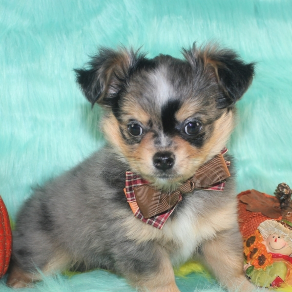 Puppies For Sale | PuppySpot