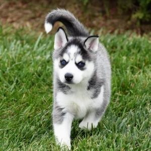 Siberian Husky Breed Information and Characteristics ...