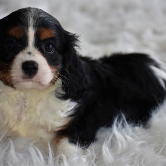 Cavalier king charles spaniel puppies for sale puppyspot altavistaventures Choice Image