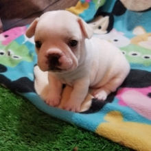 French Bulldog Puppies For Sale In Va Craigslist