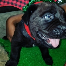 Cane Corso Puppies For Sale Puppyspot