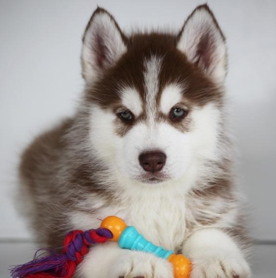 Resultado de imagen para cane husky toy