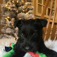 Scottish Terrier Puppies For Sale Puppyspot