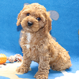 cockapoo puppies for sale puppyspot